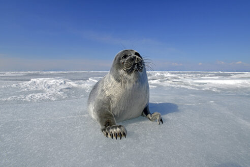 Russia, Lake Baikal, Baikal seal on frozen lake - GNF001348