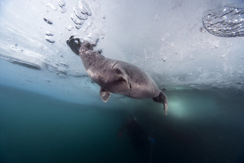 Russia, Lake Baikal, ice diver with Baikal seal under water - GNF001362