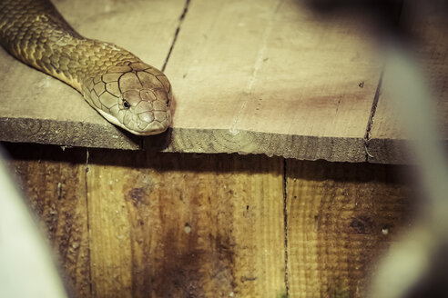 King cobra, Ophiophagus hannah - KRPF001535