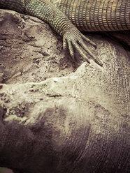 Lizard, pow on stone - KRPF001543