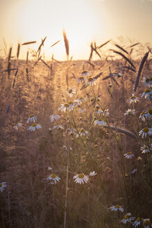 Germany, Baden-Wuerttemberg, false chamomile and rye field against the evening sun - LVF003643