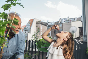 Grandfather and granddaughter picking red currants from balcony - MFF001727