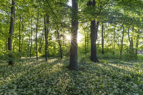 Germany, Quedlinburg, blossoming ransom at Bruehl park - PVCF000470