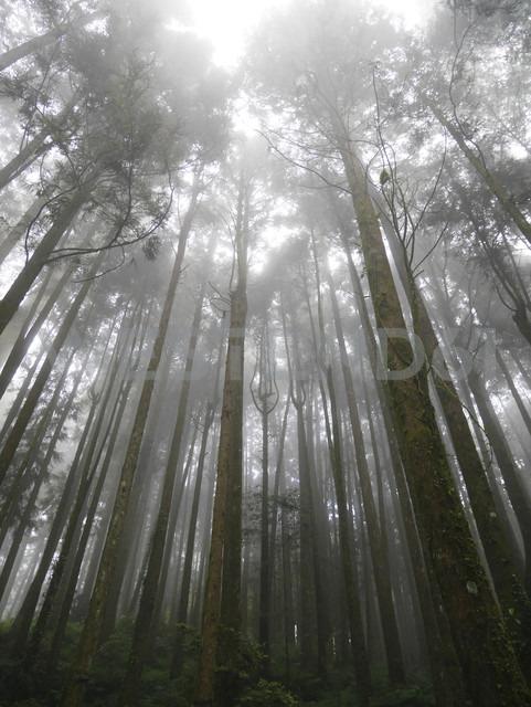 Taiwan, Alishan, trees - JMF000353