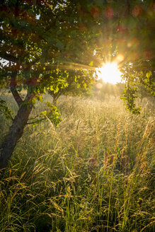 Germany, Bavaria, Chiemgau, meadow with grasses and tree in the morning light - HAMF000050