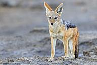Namibia, Etosha National Park, Black-backed Jackal - FOF008116