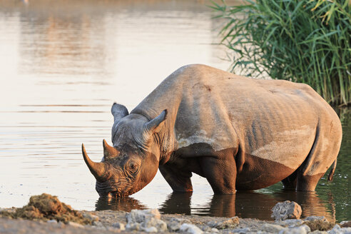 Namibia, Etosha National Park, African black rhino at Chudop water - FOF008124