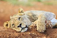 Namibia, Etosha National Park, lazy young lion - FOF008127