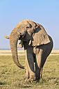 Namibia, Etosha National Park, African elephant - FOF008130