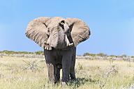 Namibia, Etosha National Park, portrait of African elephant - FOF008131