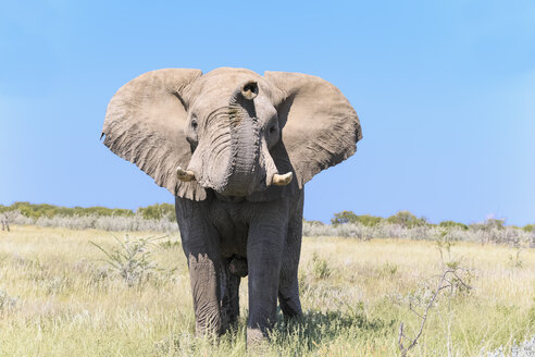 Namibia, Etosha National Park, portrait of African elephant - FOF008131