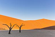 Namibia, Namib Naukluft, Namib Desert, dead acacias on clay pan - FOF008164