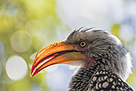 South Africa, North West, Bojanala Platinum, portrait of yellow-billed hornbill at Pilanesberg Game Reserve - FOF008194