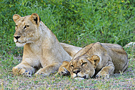 Zimbabwe, Urungwe District, Mana Pools National Park, two tired lionesses - FOF008226