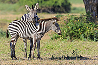 Zimbabwe, Urungwe District, Mana Pools National Park, two burchell's zebras - FOF008227