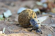Dung beetle, Scarabaeus sacer, with dung ball - FOF008212