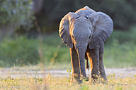 Africa, Zimbabwe, Mana Pools National Park, baby elephant - FOF008230