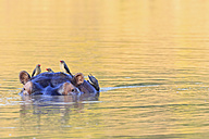 Zimbabwe, Urungwe District, Mana Pools National Park, swimming hippopotamus with oxpeckers - FOF008235