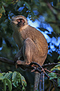 Zimbabwe, Urungwe District, Mana Pools National Park, portrait of green monkey sitting in a tree - FOF008236