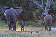 Africa, Zimbabwe, Mana Pools National Park, cow elephant with baby elephant - FOF008240
