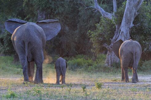 Africa, Zimbabwe, Mana Pools National Park, cow elephant with baby elephant - FOF008240