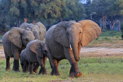 Africa, Zimbabwe, Mana Pools National Park, herd of elephants with young animals - FOF008246