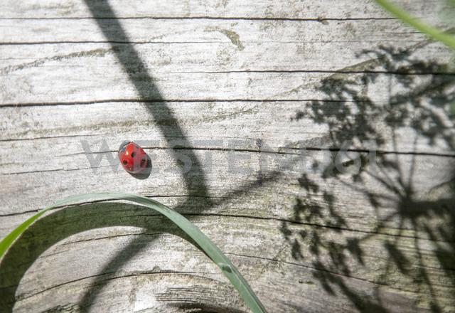 Ladybug on wood - DEGF000469
