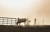 Spain, bull standing on a pasture at backlight - DEGF000466