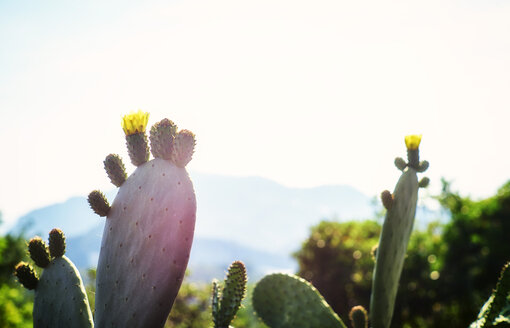 Italy, Liguria, blossom of a prickly pear in evening sun - DIKF000137