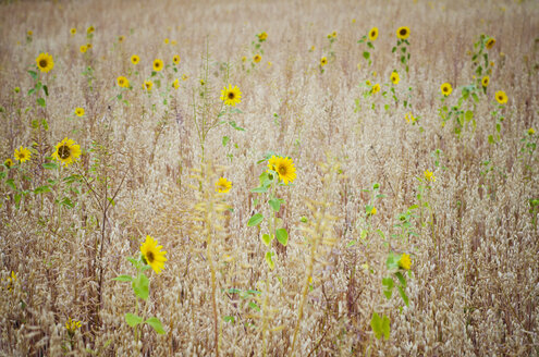 Sunflowers in a grain field - CZF000205
