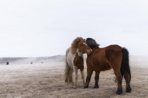 Iceland, two Icelandic Horses - SMAF000353
