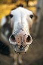 Donkey, portrait - MGOF000359