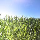 Corn field - LVF003746