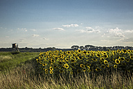 Sunflower field and raised hide - ASCF000260