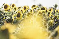 Sunflower field - ASCF000261