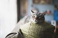 Portrait of tabby cat sleeping on the backrest of a couch - RAEF000265