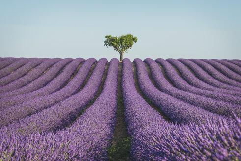 France, Alpes-de-Haute-Provence, Lavender field near Valensole - KEBF000212