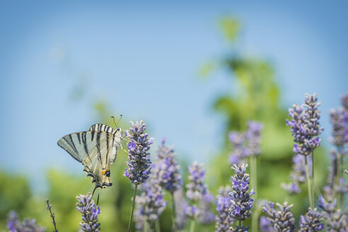 Scarce swallowtails, iphiclides podalirius, lavender flowers - KEBF000215