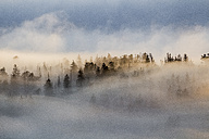 Germany, Saxony-Anhalt, Harz National Park, firs in heavy fog in the evening - PVCF000526