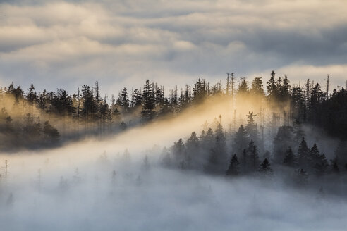 Germany, Saxony-Anhalt, Harz National Park, firs in heavy fog in the evening - PVCF000502