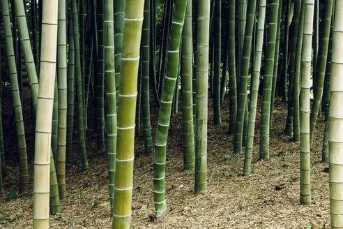Japan, Arashiyama, bamboo forest - FLF001195