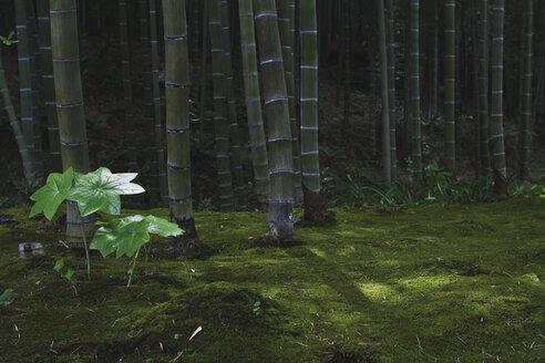 Japan, Arashiyama, bamboo forest - FLF001202