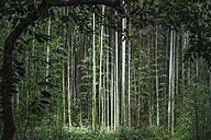 Japan, Arashiyama, bamboo forest - FLF001203