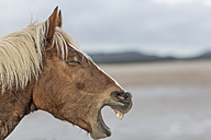 Brown horse neighing on a beach - ZEF006431