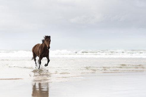 Brown horse running on a beach - ZEF006435