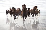 Brown Horses running on a beach - ZEF006444