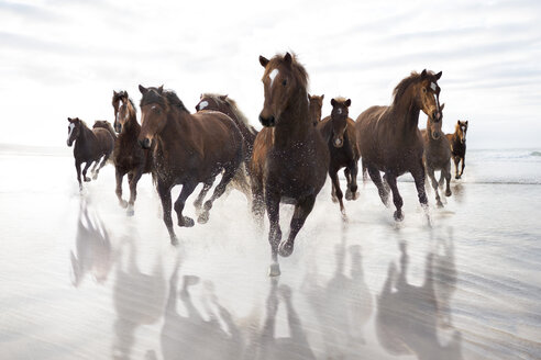Brown Horses running on a beach - ZEF006444