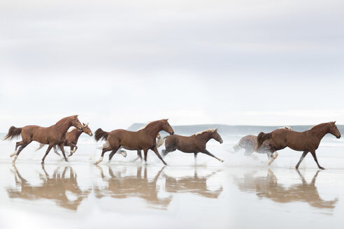 Brown Horses running on a beach - ZEF006446