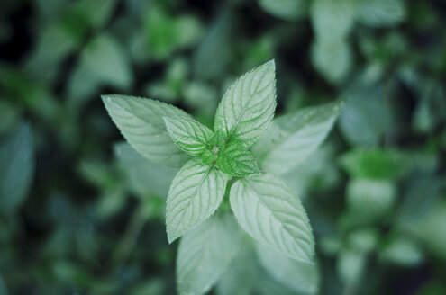 Peppermint, Mentha piperita, in garden, close-up - CZF000216