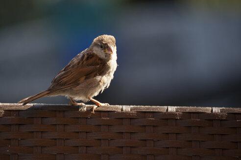 Sparrow - FCF000768